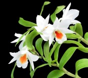 Orchidée (1)
