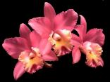 Orchidée (10)