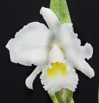 Orchidée (11)