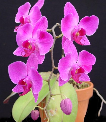 Orchidée (13)