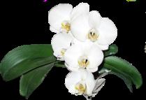 Orchidée (15)