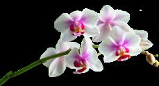 Orchidée (19)
