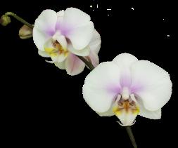 Orchidée (25)
