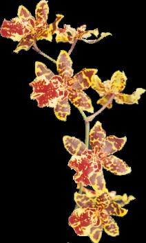 Orchidée (27)