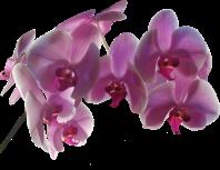 Orchidée (3)