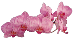 Orchidée (31)