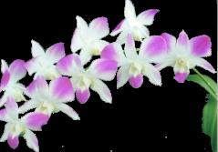 Orchidée (32)