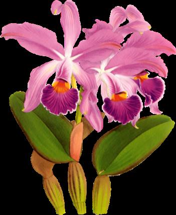 Orchidée (33)