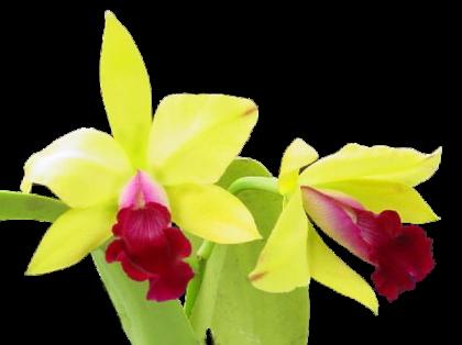 Orchidée (35)