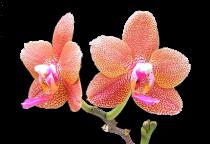 Orchidée (36)