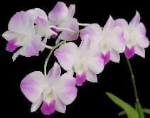 Orchidée (37)