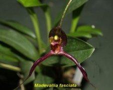 Orchidée (5)