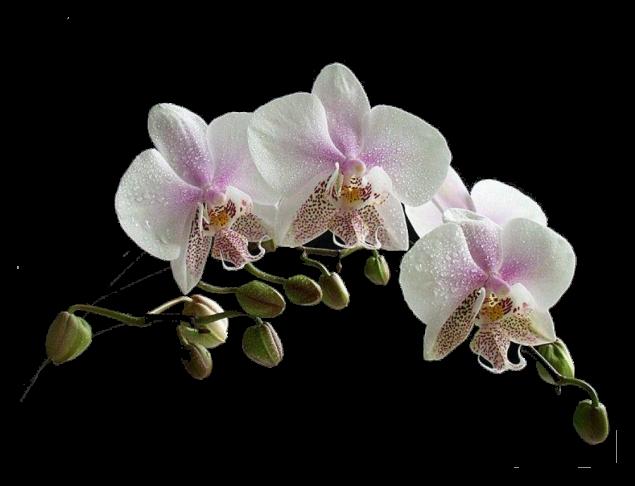 Orchidée (8)