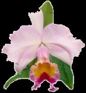 Orchidée (9)