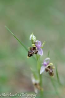 Orchidées des collines (2)